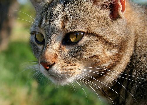 """FIV, or """"Feli... Feline"""