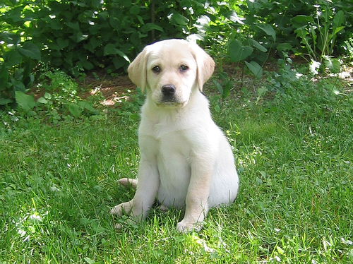 Dog Breeds – Yellow Labrador